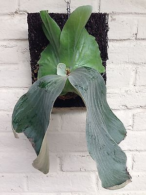 Staghorn Fern Platycerium 'Elemaria' - Grows w/Orchids/Philodendron/Other Aroids