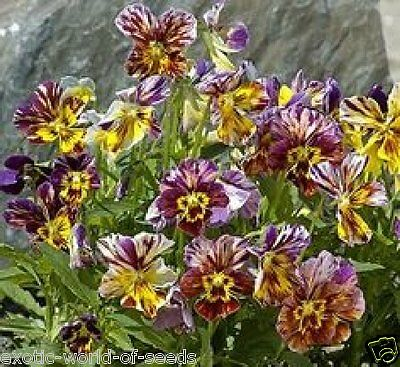 "Pansy/ Viola Cornuta Seeds ""Rembrandt"" Mass Of Flowers Unique Russian Hybrid"