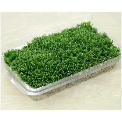 Stylish 100% Natural Forest Carpet Moss For Terrarium Decoration