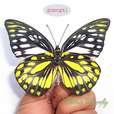 50 PCS wholesale lots unmounted butterfly Prioneris thestylis artwork material