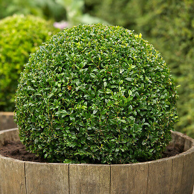 Boxwood, Buxus sempervirens, Seeds, (Hardy Evergreen, Topiary, Hedge, Bonsai)