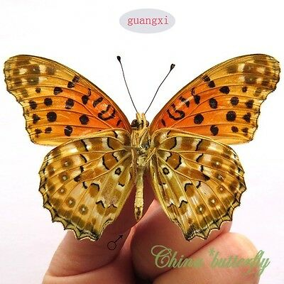 WHOLESALE 50 PCS unmounted butterfly nymphalidae Argyreus hyperbius CHINA A1 A1-