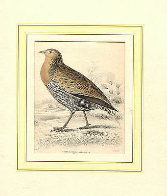 Holzstich um 1840 - Three Banded Sandgrouse  (CE)