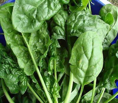 Spinach Bloomsdale long standing 100 vegetable seeds edible garden easy to grow