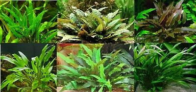 Cryptocoryne assorties lot de 4 touffes  plante aquarium facile robuste discus