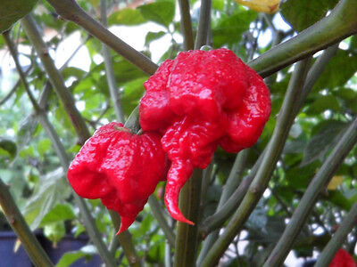 20 Carolina Reaper Hp22B Chilli Seeds Semillas 100% Garantizadas