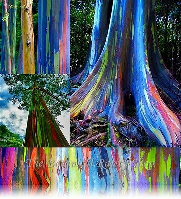 Eucalyptus deglupta (Rainbow Eucalyptus) - 50 Viable seeds - Beautiful rare tree