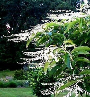 50 LILY OF THE VALLEY TREE Sourwood Sorrel Oxydendrum Arboreum Flower Seeds