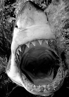 Great White Shark Large Poster Art Print Black & White Canvas or Card