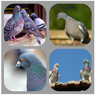 Pigeons - Souvenir Novelty Coasters - Easy Clean - Brand New - Gift/ Xmas