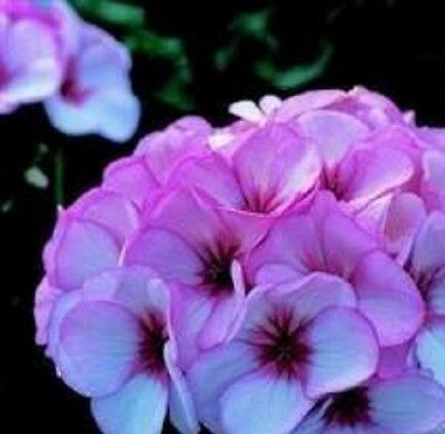 Geranium - Horizon Star - 10 Seeds
