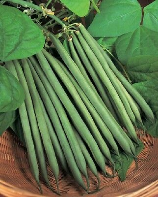 Vegetable  Dwarf Green Bean  Sprite  175 Finest Seeds