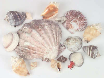 Sea Shells In Lion's Paw Shell 11.2oz Natural 690605