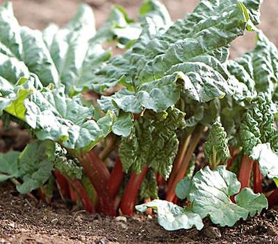 Rhubarb (Victoria) Seeds, 20+ seeds, Organic, NON GMO, Do Not Eat the Leaves.