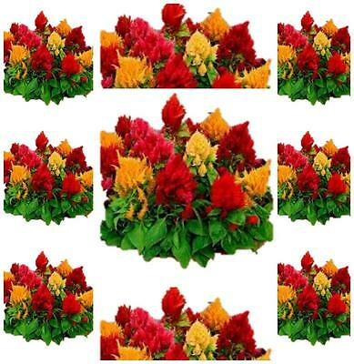 Celosia Prince of Wales feather 100 flower seeds cottage garden cut flower
