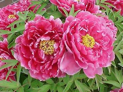 Tree Peony, Paeonia suffruticosa, Shrub Seeds (Showy, Hardy)