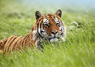 Poster A4 Plastifie-Laminated(1 Free/1 Gratuit)* Animaux Sauvag.tigre/tiger