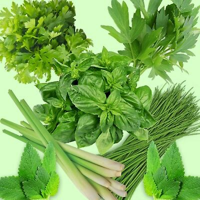 herb seeds mint parsley chive lemon grass coriander basil 870 seeds 1pack of ech