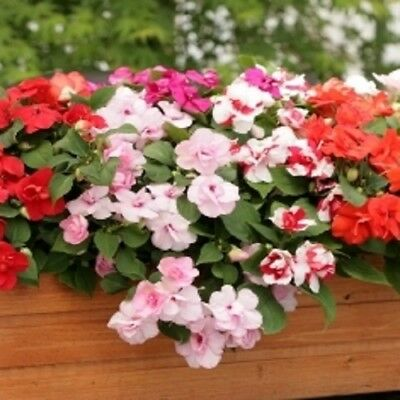 Impatiens / Busy Lizzy - Athena Mixed - 10 Seeds