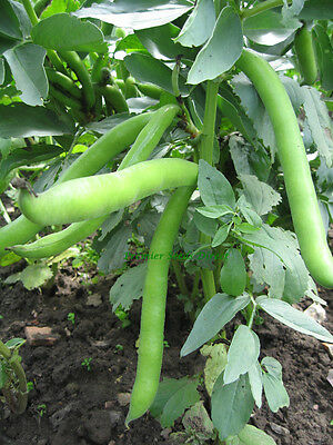 Vegetable  Dwarf Broad Bean  Sutton Dwarf 37 Gram ~ 30 Seeds   ** Free Uk P&p**
