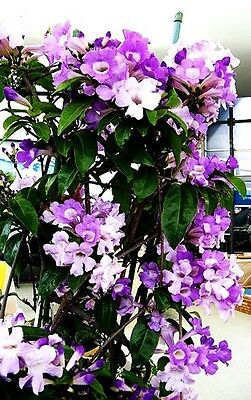 Hard To Find! Rare Mansoa Alliacea (Garlic Vine) - 10 Seeds!!