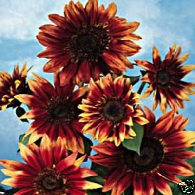 Flower Sunflower Indian Blanket 400 Finest Seeds Bulk