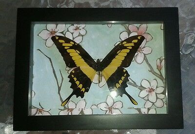 Framed Real Papilio androgeos Butterfly of Peru Displayed in a Shadowbox