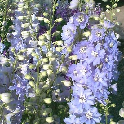 Perennial Flower Delphinium Pacific Giant Camellaird 55 Finest Seeds