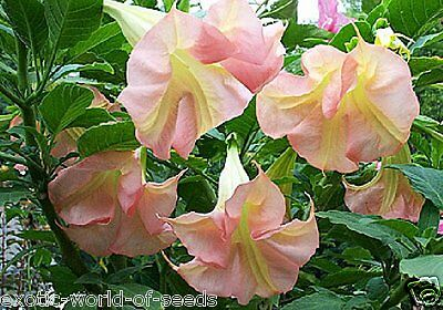 Datura - Brugmansia - Angels Trumpets Seeds Giant Pink Flowers Upto 15 Cm Dia