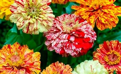 Flower Zinnia Elegans Peppermint Stick Mix  2.0 Gram ~ Approx 340 Finest Seeds