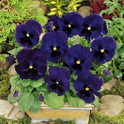 Flower Pansy Swiss Giant Ulsswater (Deep Blue)  650 Finest Seeds