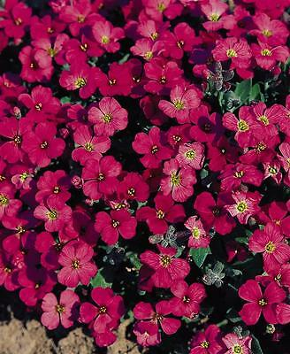 PERENNIAL FLOWER AUBRIETA ROCK CRESS ROYAL RED 0.15 GRAM ~ 330 seeds