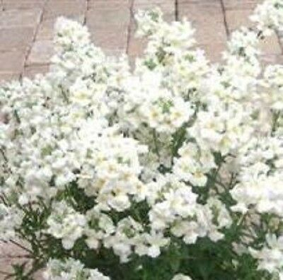 Nemesia - Poetry White - 10 Seeds