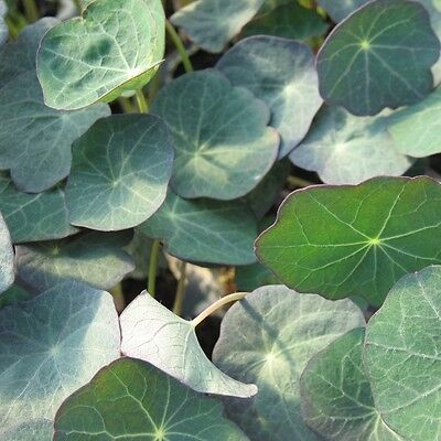 Kings Seeds - Baby Leaf - Nasturtium Blue Pepe - 20 Seeds
