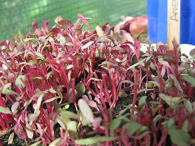Sprouting Seeds Red Amaranth  40 Gram