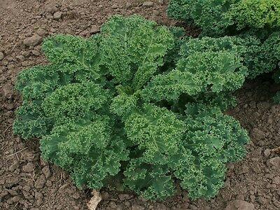 Organic Vegetable  Kale Borecole Dwarf Blue Scotch Curled  800 Seeds