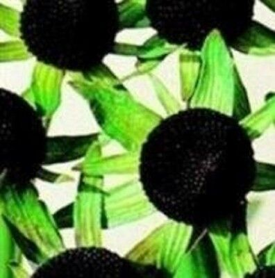 Rudbeckia - Occidentalis Green Wizard - 10 Seeds