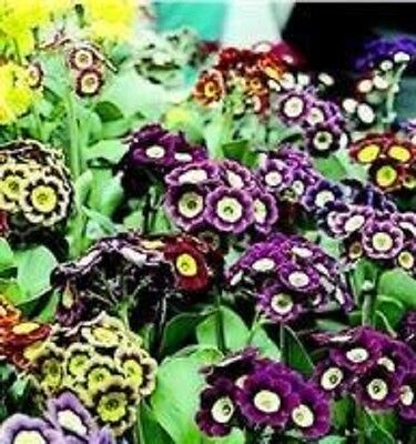 Primula - Auricula Mixed - 100 Seeds