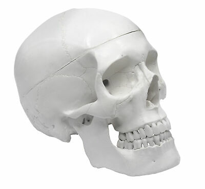 "Human Skull Anatomical Model, Medical Quality, Life Sized (9"" Height) - 3 Parts"