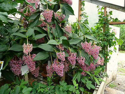 Medinilla myriantha - 30 seeds harvested December 2016