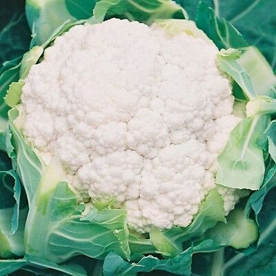 Kings Seeds - Cauliflower Barcelona F1 - 75 Seeds