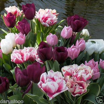 12 Tulips Double Flowering Gardening Bulb Beautiful Spring Flower Perennial New