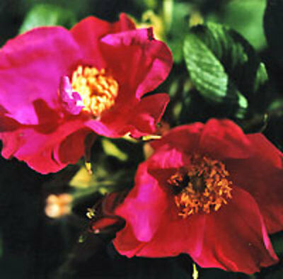 Red Rugosa Rose, Rosa rugosa rubra Red, Seeds (Fast, Fragrant, Edible)