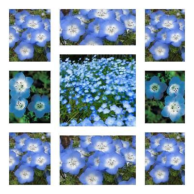 "Nemophila Seeds Baby Blue Eyes"" 100 Flower Garden Seeds Sky Blue Flowers Pretty"