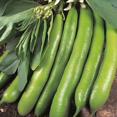 Vegetable - Broad Bean - Dreadnought - 50 Seeds