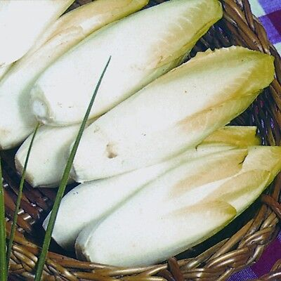 Vegetable - Chicory - Brussels Witloof - 2100 Seeds