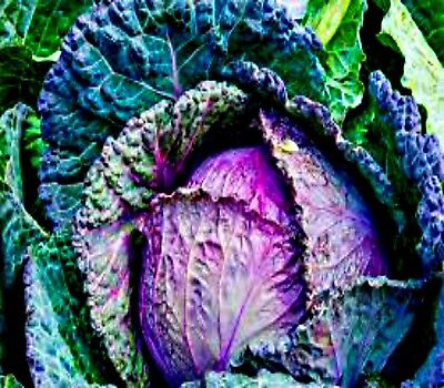 "Cabbage Savoy 100 Seeds ""Verona Purple ""  Italian Heritage Vegetable Seeds"