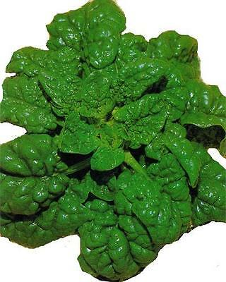 "SPINACH ""Black Magic: 100 seeds no bolt can be used in salads"