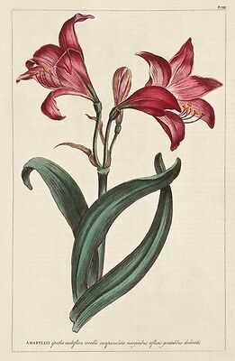 Reproduction Print on A4 - Antique Floral Illustrations - Amaryllis