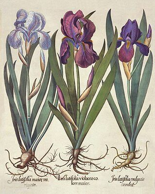 Reproduction Print on A4 - Antique Floral Illustrations - IRIS